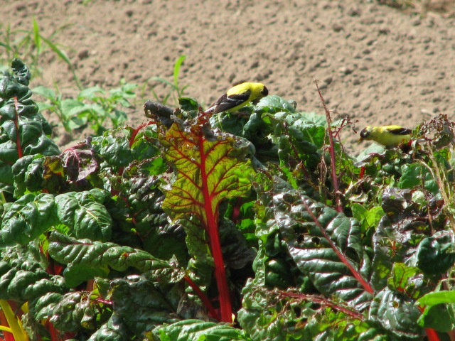 Our real nice Swiss chard with the very pretty little Goldfinch.  there are two of them and notice the ragged leaves.
