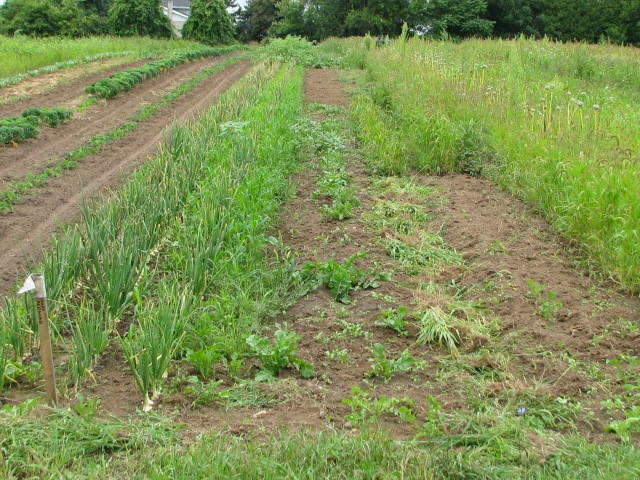 Kale rows way to the left of the photo with rows of just seeded lettuce mixes with a bed of three onion rows and in the centre a nice lot of arugula growing again.