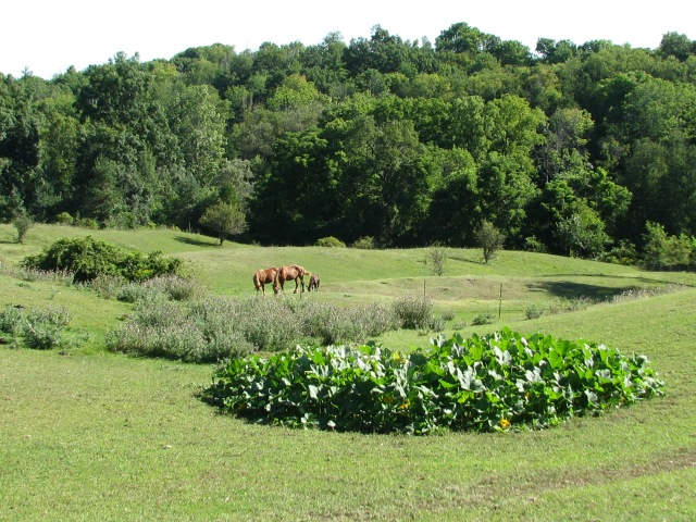 Wednesday morning. Squash plants growing in the pasture foreground, three horses grazing with still lush late summer forest beyond.