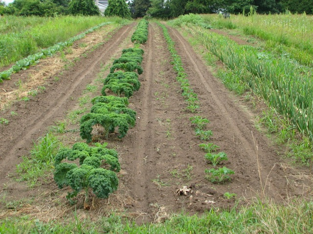 Two rows of kale, one younger than the other, with newly seeded lettuce mix either side.