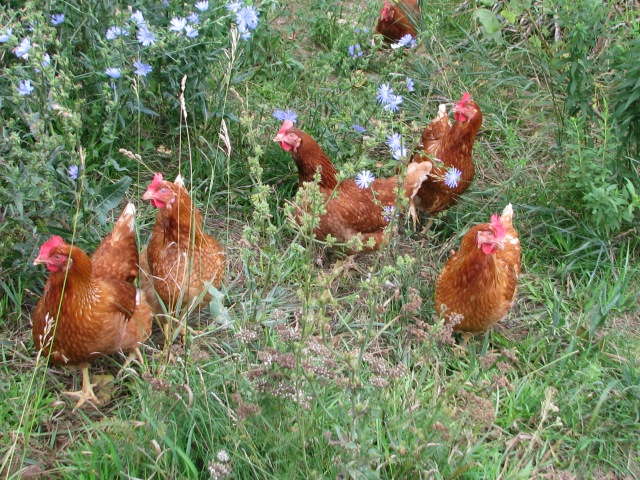 Some of the younger laying hens, the pullets, in the pretty blue Cornflower.