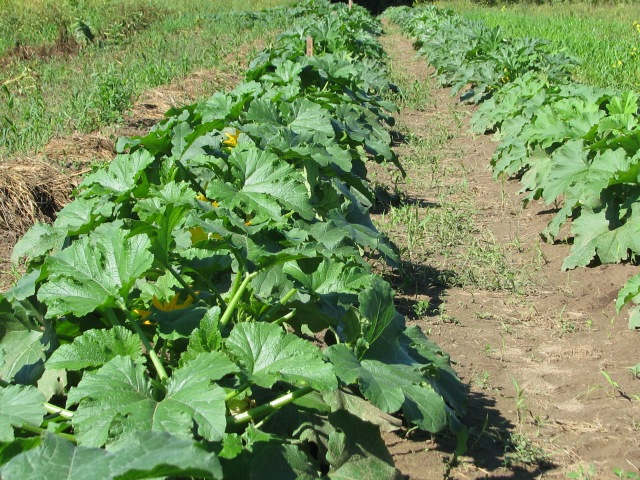 Two rows of summer squash