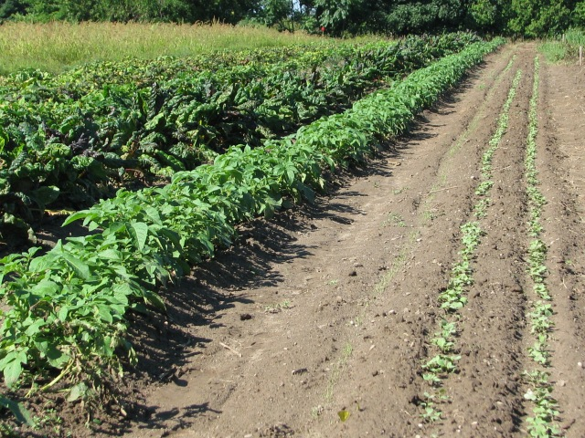 from left; Chard, potato, tiny Carrot, two rows of radish.