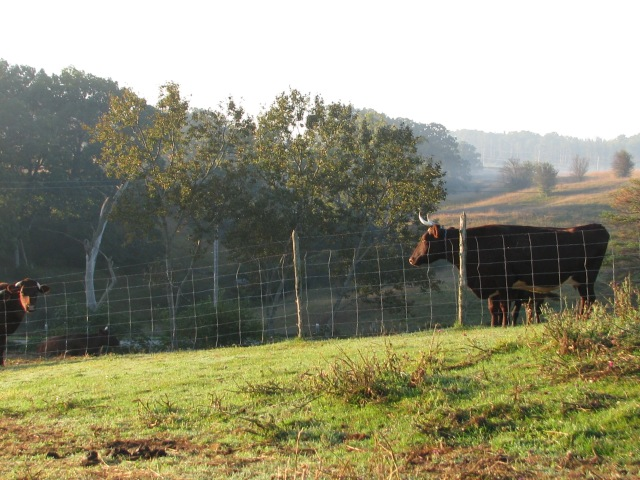 The somewhat impatient cows waiting for their early morning hay.