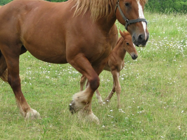 One of our new team of mares, Nell, with her foal back in June.