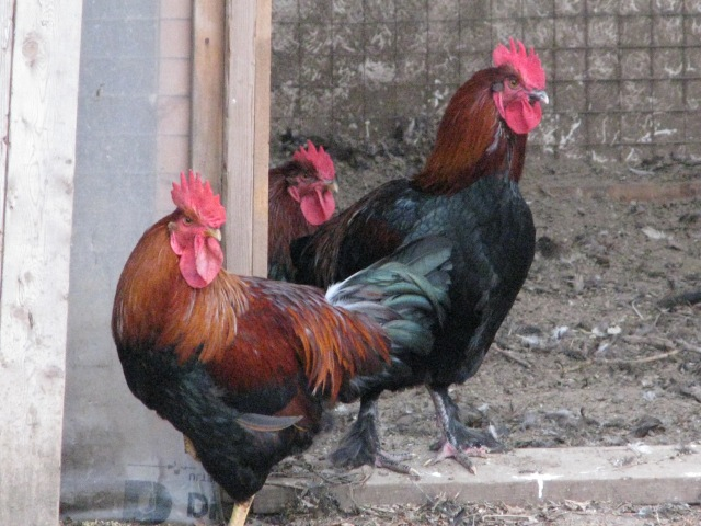 Three roosters. The feller at the left, front, is a Welsumer. The guy on the right is a Black Copper Marans and the guy in behind I'm not sure of but think that probably he too is a Marans. Grouchy looking characters aren't they.