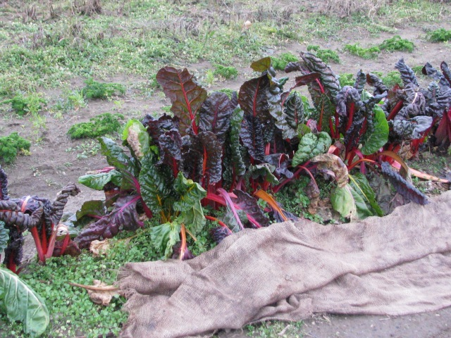 The Swiss Chard is looking surprisingly good after several moderate frosts.  But after each frost more leaves get quite droopy.