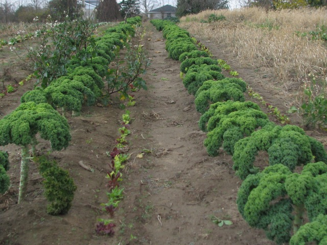 Two rows of Kale with lettuce between them.  The Kale on the left has been recently harvested.