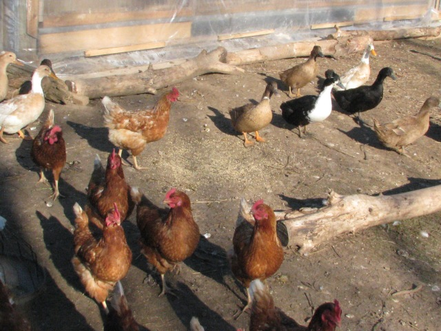 The main laying flock, out in December 10 sunshine. Ducks there too.