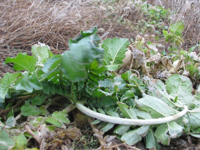 A daikon type radish  still perfectly fine and growing when the weather warms.