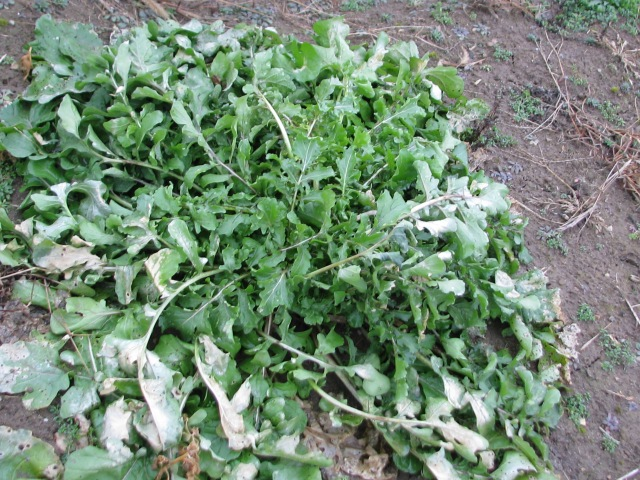 An arugula plant though a little wind dryed is mostly still just fine.