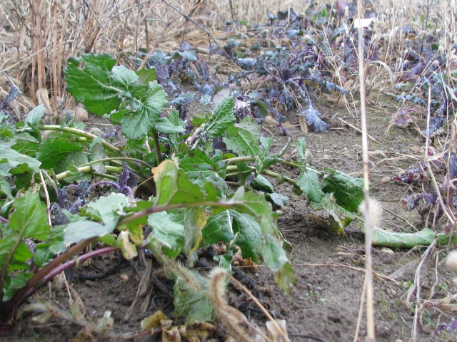 Siberian, red Russian kale with a turnip growing in between kale plants.