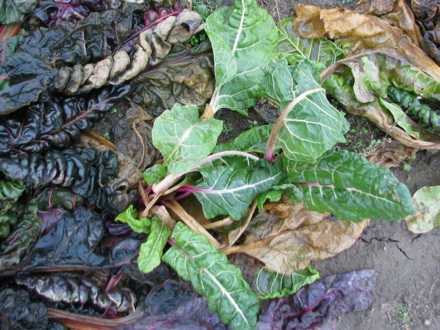 Most of the Swiss chard leaves lye mortally wounded but some of them especially those small ones near the centre are perfectly fine.