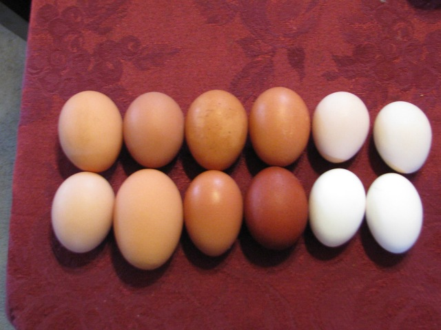 A sample of eggs: from the left, the first four eggs are from the ISA hens. The variation in colour is typical though most are closer to upper left. The large, large egg at lower right is an unusual size, not many of these.  The middle four eggs are from the special hens.  The darkest one at lower right is a Marans, the top two are likely Welsumer and the bottom left likely a Barnevelder.  The four on the right: top two are Silkie, off white and the two whiter than white are Leghorn.
