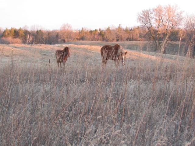 Horses at dawn December 31.