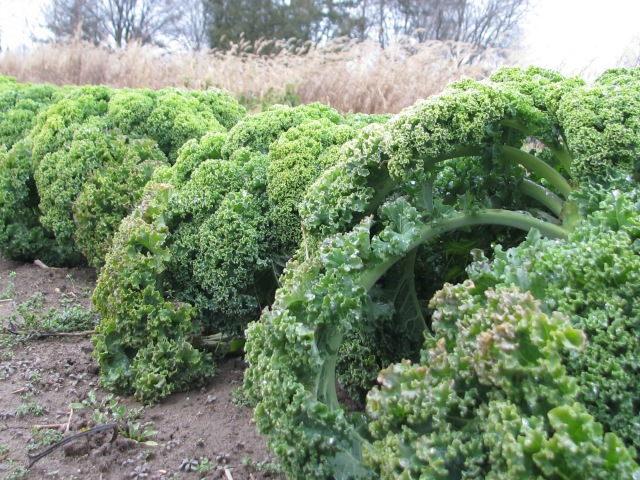 a kale close up in mid December 2014