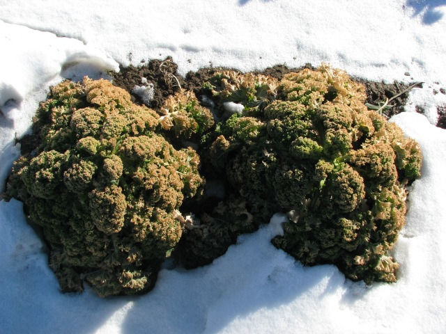 The Kale is looking a little bit worse for winter wear.