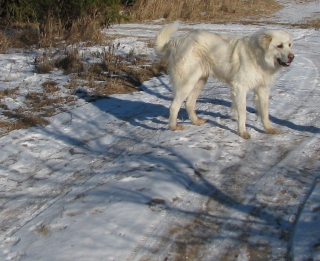This Maremma is a good family dog that looks on strangers with a lot of suspicion.