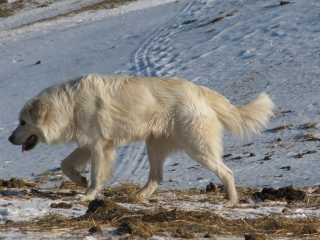 Does a Maremma look a bit like a white wolf.