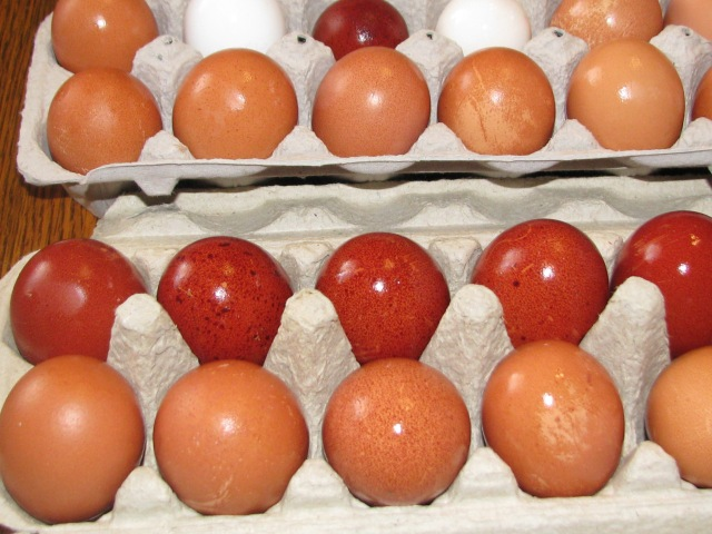 Another look at the different eggs, and the dark ones are the Marans.