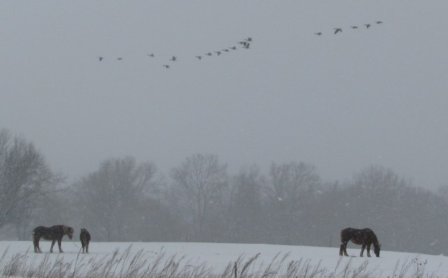 Canada geese and Belgian horses in a snow storm.