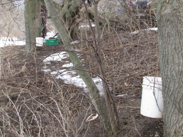 Two of the Manitoba Maple trees with two taps per tree. Aerron just behind one of those trees is tapping a third.