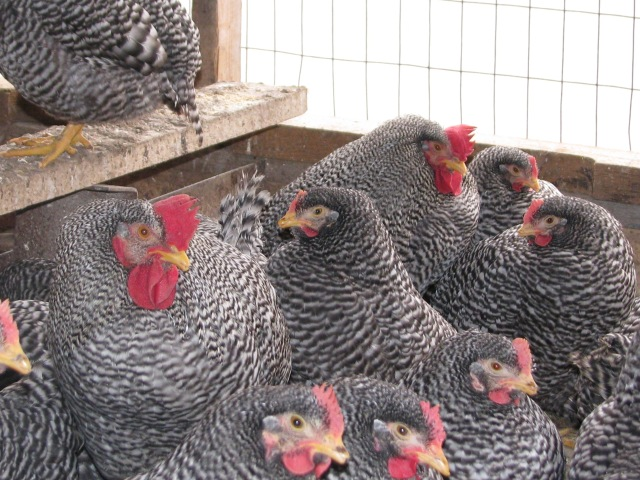 The two Barred Rock roosters.  Everyone looks so young.  They are just maturing now.