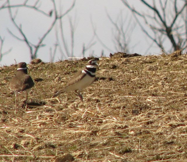 Two of four Killdeer that were flying all about.