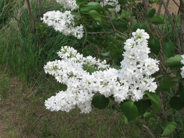 Our white lilac just full of blooms this year. It gets better each year.