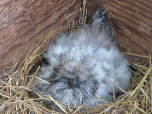 Our little Blue (or is it grey?) Silkie hen setting on a clutch of Marans and Barnevelder eggs.  She seldom moves.
