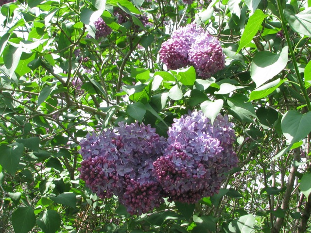 The large bloom lilac coloured lilac.