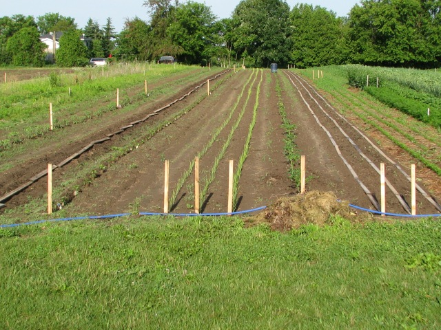 Looking over the most recent seeded and transplanted portion of the garden.  In that bare-ish patch are seeded and planted Kale, Tomatoes, Peppers, Onions, Swiss Chard, Tomatillos, carrots and far down at the opposite end a short length of row in Parsnips.