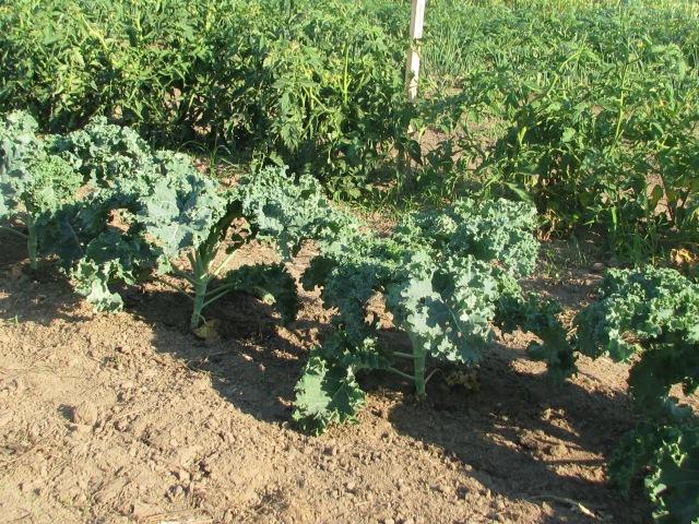 Kale plants looking pretty good.