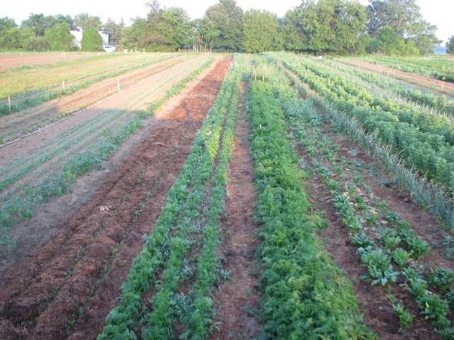 A slightly different position for the usual garden view.  Looking down the three beds (nine rows) of carrots in the centre of the picture.