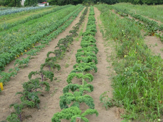 Four rows of Kale with the tomatoes to the right and then the Chard