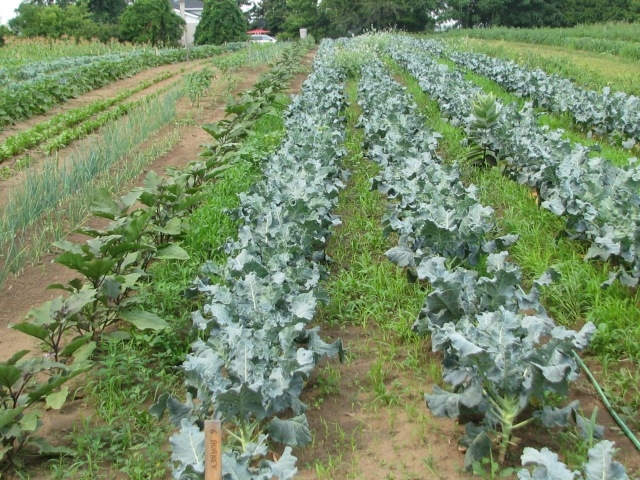 Rows of Broccolli with Eggplants to the left and lots of arugula and radish growing between the rows.