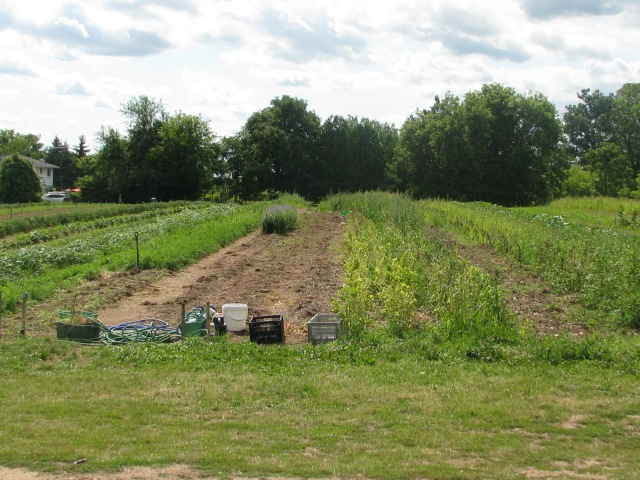 The garden just a few days ago. Lots of changes. Broad beans done and garlic out.