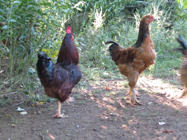 An oldster rooster(Barnevelder)  to the right and a youngster (Buff Bramha X Chantecler) left, both about the same size.