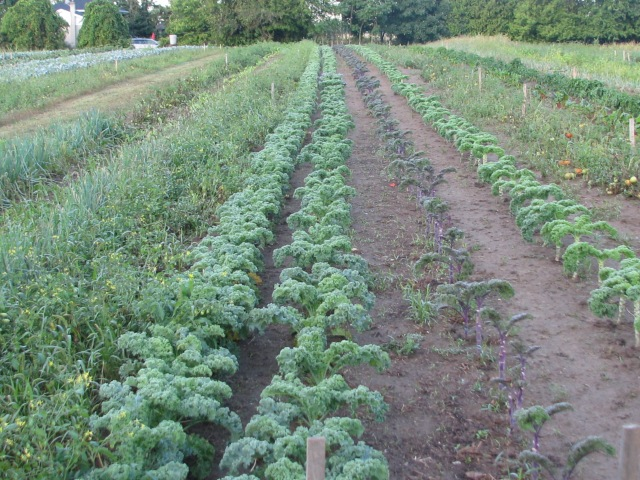 Four rows of Kale, 3 green curled and one red and some Lancinato (dinosaur) at the other end)
