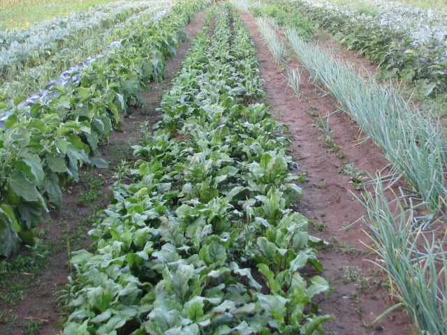 The beets, centre, with eggplant cabbages and cauliflowers to the left and onions and another row of eggplants on the right. Arugula can also be seen in the onion row gaps.