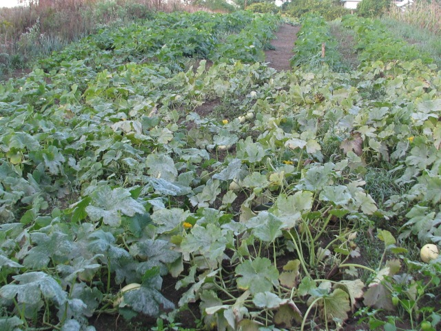 The winter squash.  The spaghettis in the foreground show the powdery mildew on the leaves  but the acorns further down are unaffected and look green and healthy.