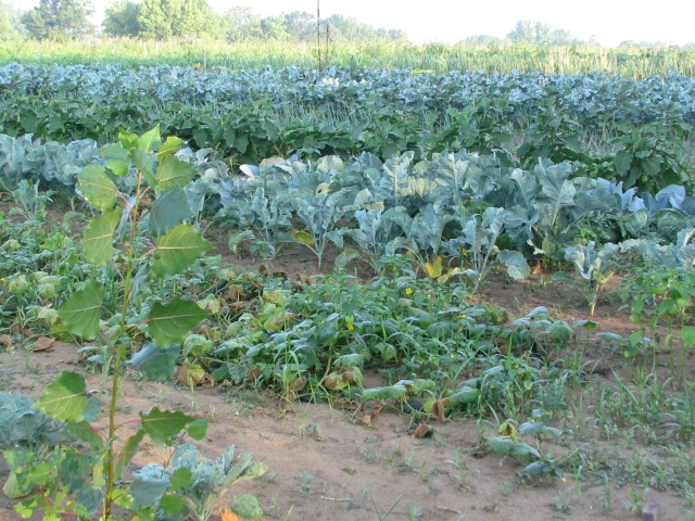 Looking across the rows at Chinese cabbage, Brussels sprouts, cauliflower, broccoli and more