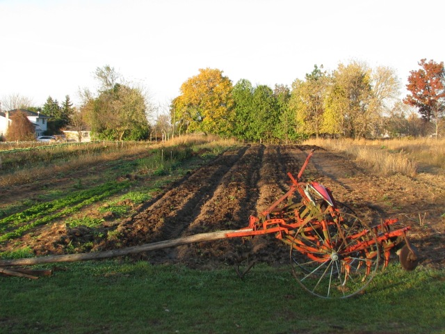 The usual weekly garden view this morning with the three beds ready for garlic planting   and the single row horse drawn McCormick-Deering cultivator in front.