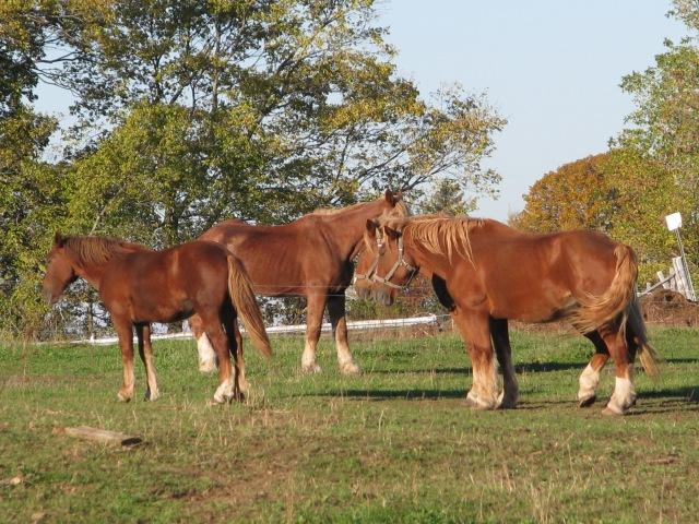 Four horses slumbering in the warm fall sunshine.