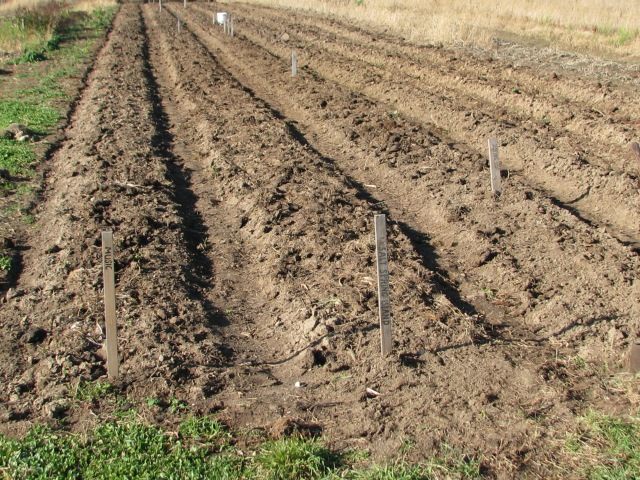 These are the three beds of newly planted garlic cloves waiting for leaves and mulch to go down