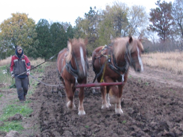 Aerron and the team using the discs last week to prepare the ground for the garlic.