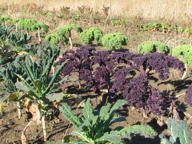 Dinosaur, red and green curled kale still looking fine.