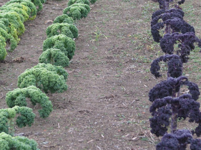 The red and green Kale plants still look very good and are very crisp and tasty too.