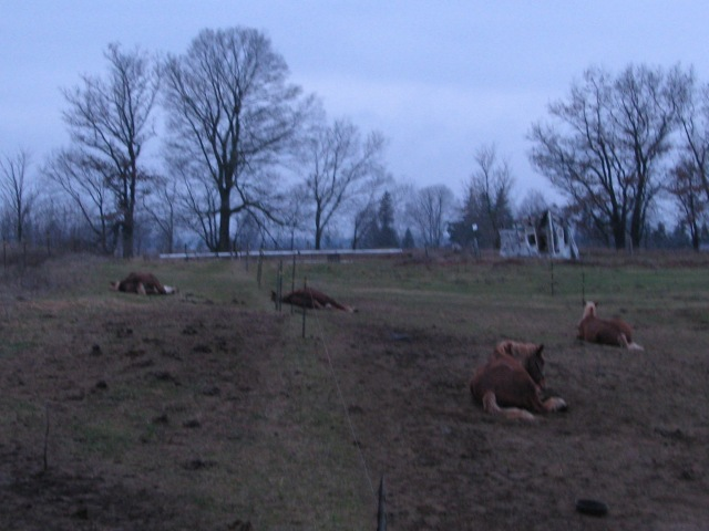 Early, well about 8 a.m. , and the horses are still lying down. Very warm 10C  at this time.