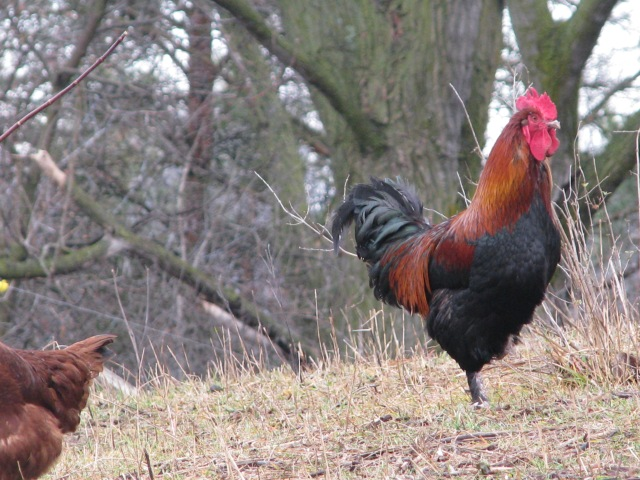 A Marans rooster I think, doing his rooster thing.